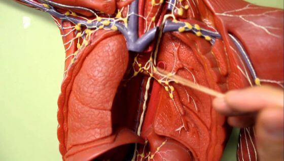 Анатомическое расположение внутригрудных лимфатических узлов (фото: www. i.ytimg.com)